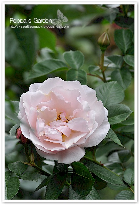  (Floribunda Pretty Lady)